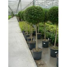Ligustrum jonandrum 1/2 tige boule C50
