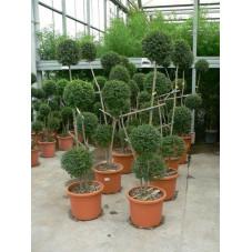 Ligustrum jonandrum - 4 boules 4 tiges