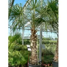 Livistona decipiens ( palmier )