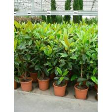 "Magnolia grandiflora "" galissoniensis """