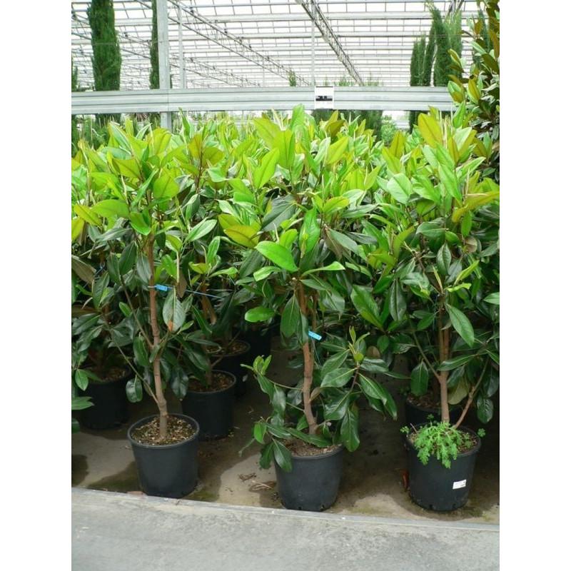 Magnolia grandiflora - 125 cm