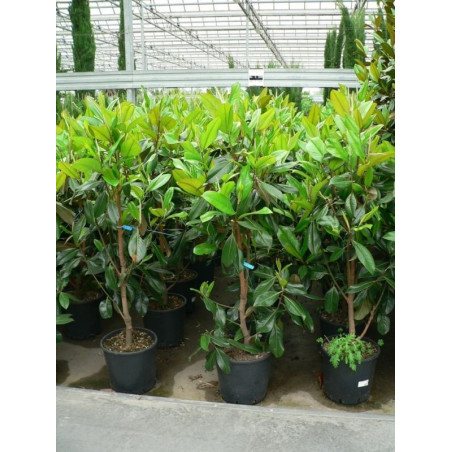 "Magnolia grandiflora "" galissoniensis ""125+"