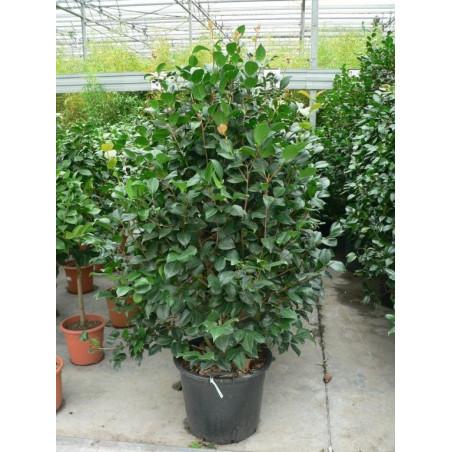 Camélia japonica  100+