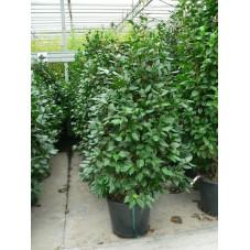 Camélia japonica  125/+