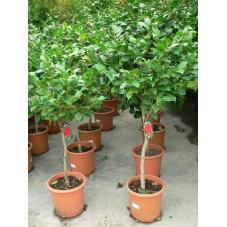 Camélia japonica  demi tige