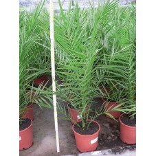 Phoenix canariensis (palmier)