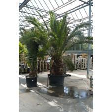 palmier des Canaries  - gros sujet