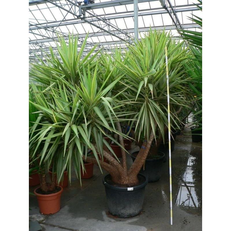 Vente De Yucca Gros Sujet Yucca Jewel