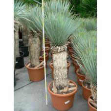 Yucca rostrata gros sujet