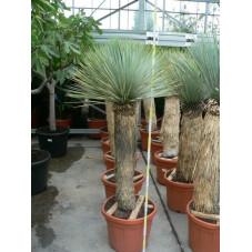 Yucca rostrata trés gros sujet
