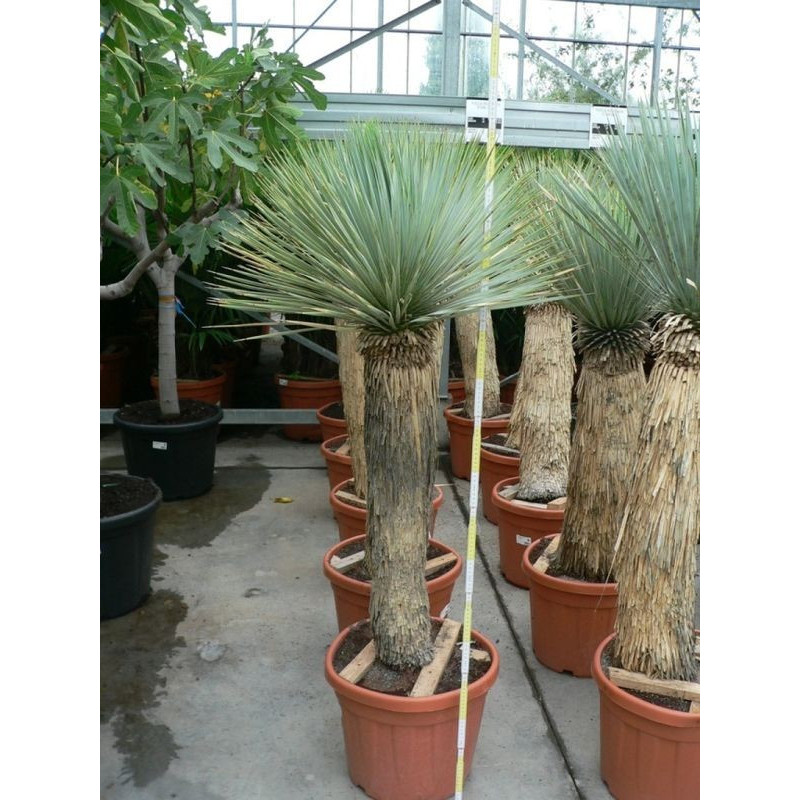 Yucca rostrata   - gros sujets