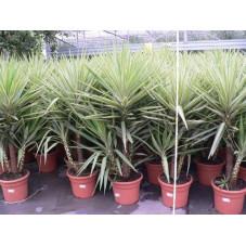 "Yucca "" jewel "" C 15 3 plantes"