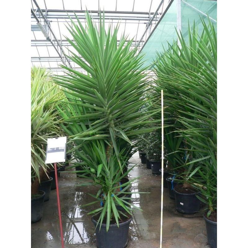 Vente de yucca elephantipes for Yucca exterieur