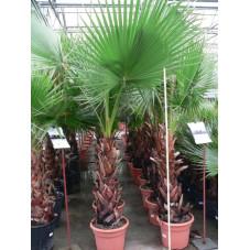 Washingtonia robusta 60+