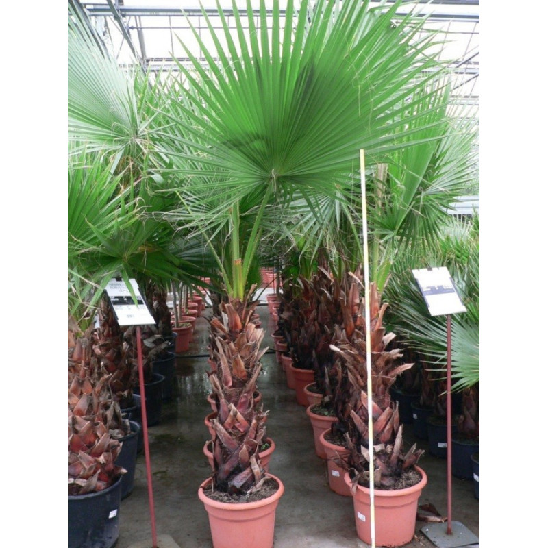 Washingtonia robusta 60+
