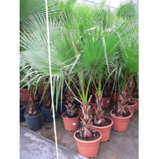 Washingtonia robusta  150cm/+