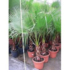 Washingtonia robusta  150cm/+