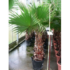 Washingtonia robusta tronc 100cm/+ hauteur totale 255/250 cm - pot de 50 litres