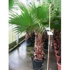 Washingtonia robusta tronc  100+