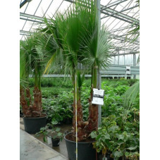 Washingtonia multitronc 160l