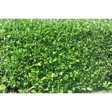 Prunus laucerasus rotundifolia (laurier)