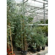 "Eucalyptus "" gunni """