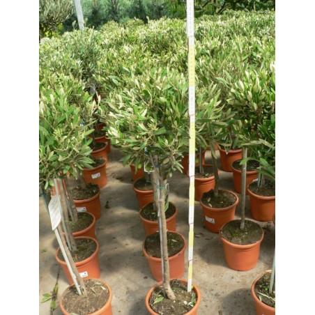 Olea europaea mini tige (olivier)