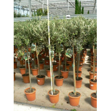 Oléa eurapaea tige (olivier)