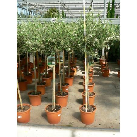 Olea europaea tige  ( olivier)