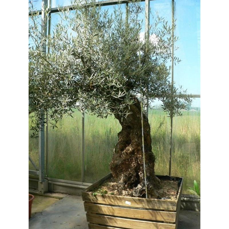 vente d 39 olivier olea europaea tronc circ 100cm. Black Bedroom Furniture Sets. Home Design Ideas
