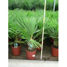 Trachycarpus fortunei - palmier 60/+