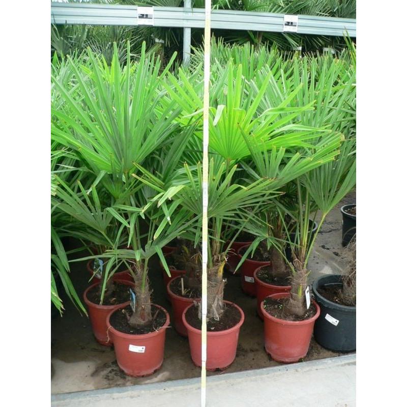 Palmier de Chine - 100 cm