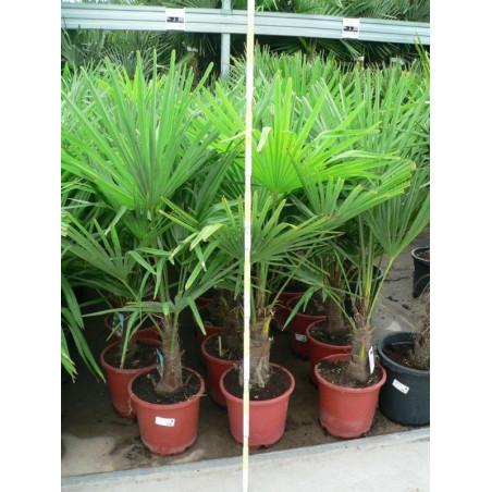 Trachycarpus fortunei - palmier 100cm/+