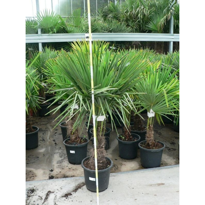 Trachycarpus fortunei - palmier 125/+