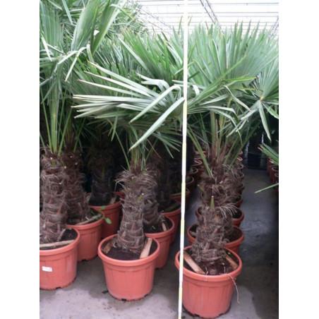 Trachycarpus fortunei - palmier tronc 50/+