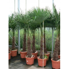 Palmier de Chine - sur tronc - 160 cm