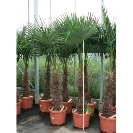Trachycarpus fortunei - palmier tronc 60/+