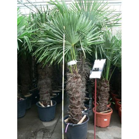 Trachycarpus fortunei - palmier tronc 80/+