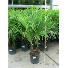 Trachycarpus fortunei - palmier 2 tronc 9l