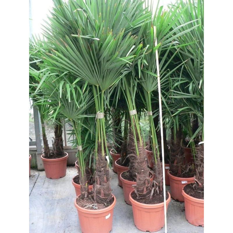 Trachycarpus fortunei - palmier 2 tronc 50l