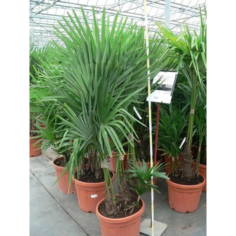 Palmier de Chine - multitroncs 150 cm