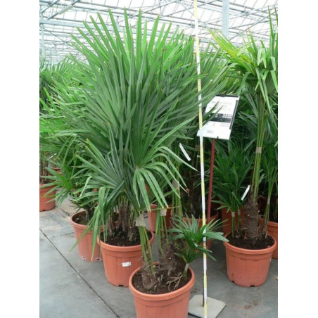 Trachycarpus fortunei - multitroncs 35l