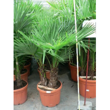 Trachycarpus fortunei - multitroncs 65l