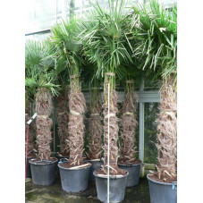 Trachycarpus fortunei - palmier tronc 140/+