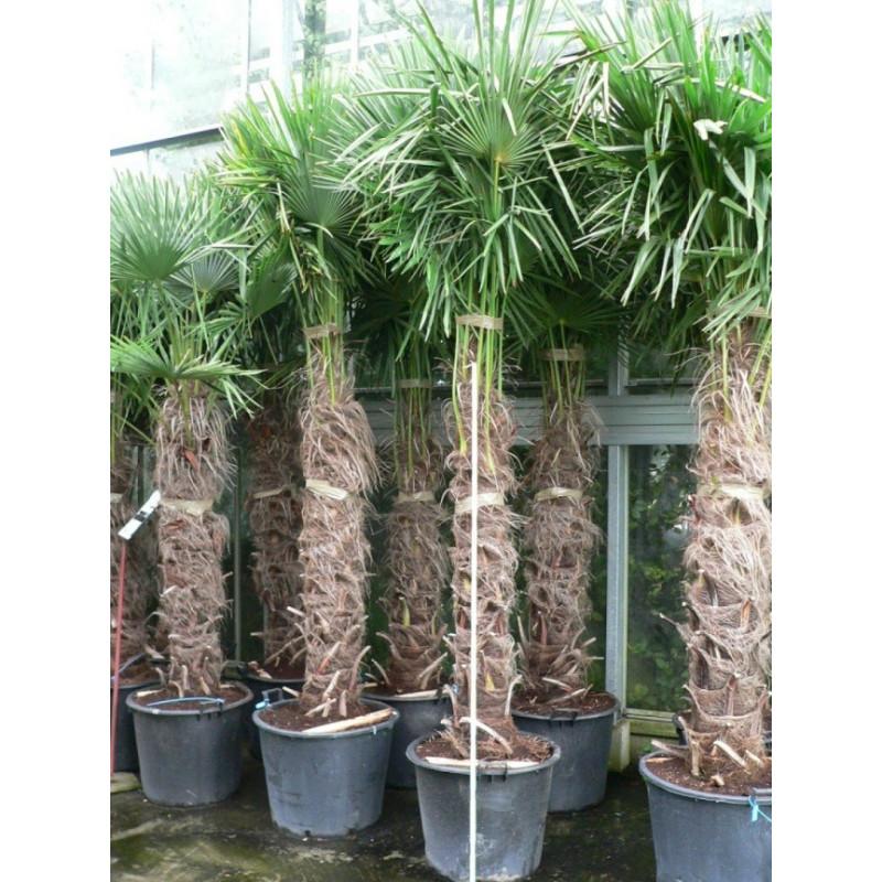 Palmier de chine - sur tronc - 275 cm