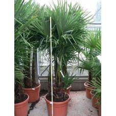 Trachycarpus fortunei - palmier 3 troncs 70l