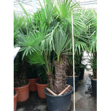 Trachycarpus fortunei - multitroncs 90l