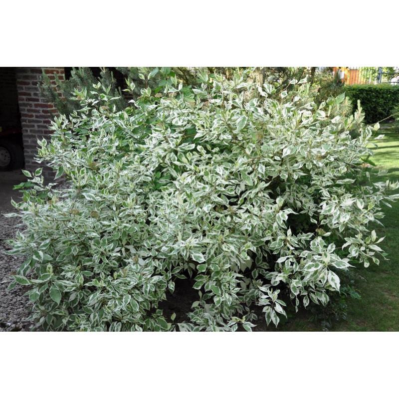 Cornus alba  élégantissima