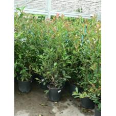 Photinia fraseri red robin 125/+