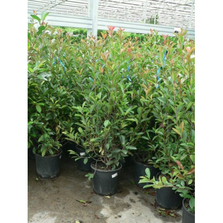 Photinia fraseri red robin 125/+